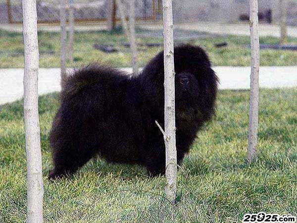 松狮犬种母图片黑狮 美系黑色松狮犬 松狮犬图片 松狮图片