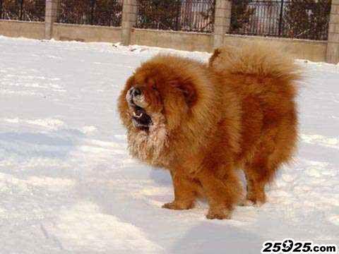 ROBIN 松狮犬种公 松狮犬图片 松狮图片图片