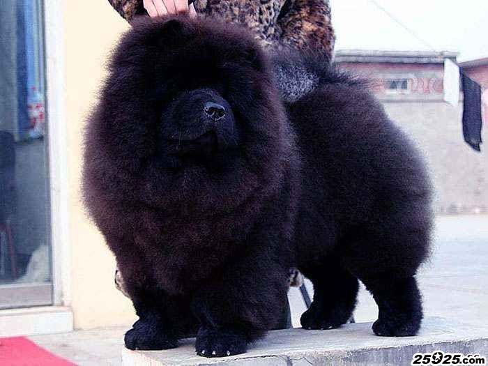 熊仔 黑色松狮犬种公图片 松狮犬图片 松狮图片图片