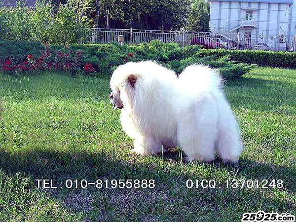 白金熊 美系松狮种公图片 松狮犬图片 松狮图片图片