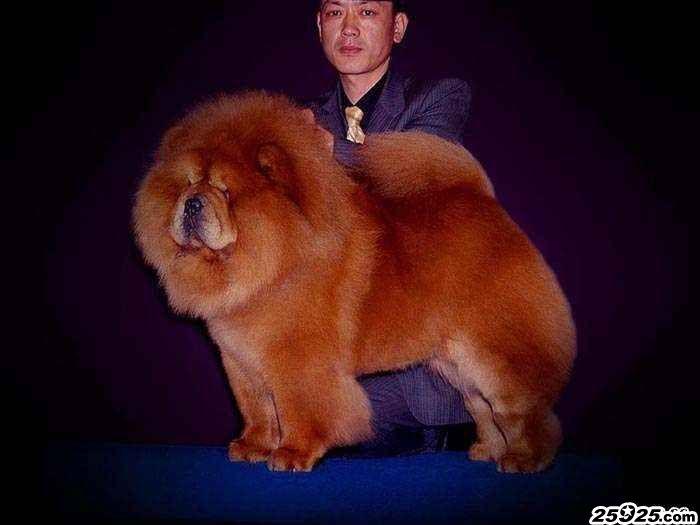 CASH现金美系松狮种公图片美国永久冠军松狮犬图片图片
