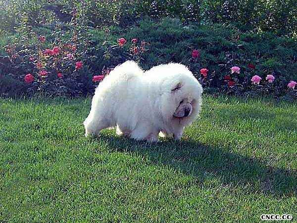 白金熊 白色松狮种公图片 松狮图片 松狮犬图片图片
