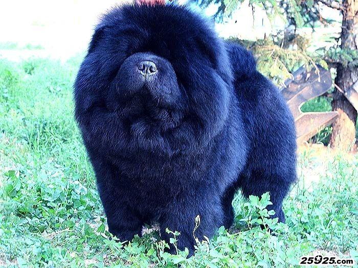 赛级种公黑色松狮犬牛牛图片 松狮犬图片