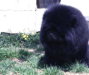 熊仔 纯种美系黑色松狮种公图片 松狮犬图片照片图片