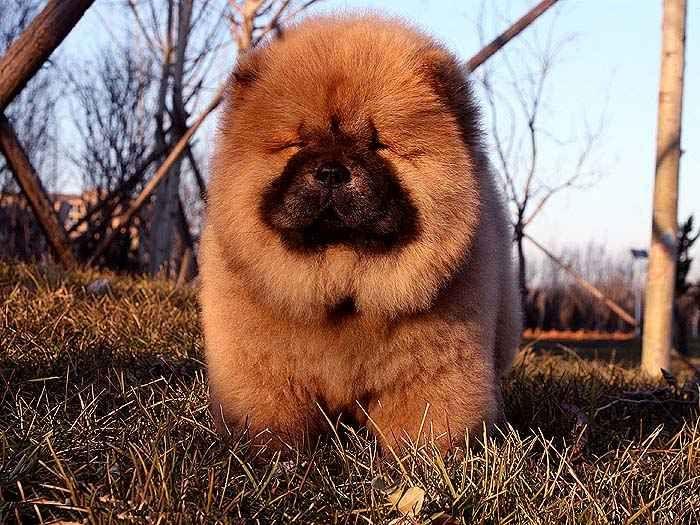 松狮犬介绍怎样鉴别松狮串沙皮串特征纯种松狮与串松狮的区别
