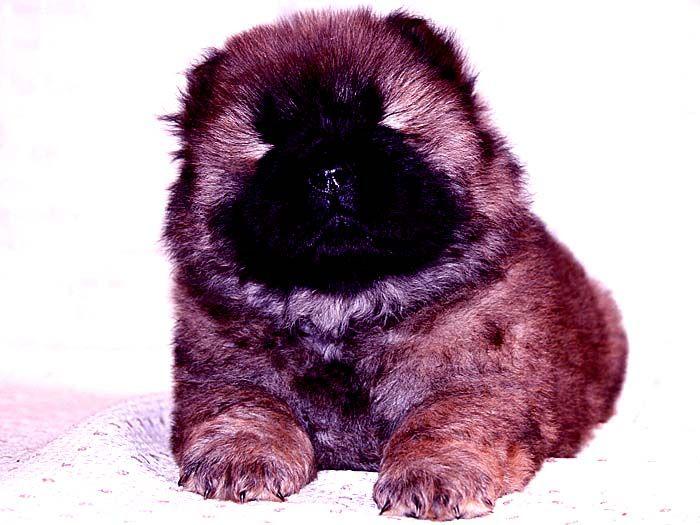 小现金和小贝的红色赛级纯种赛级松狮幼犬母图片图片