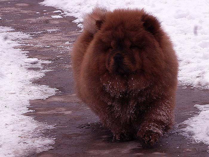 3个月战神女儿赛级红色纯种松狮幼犬雪地照片图片图片