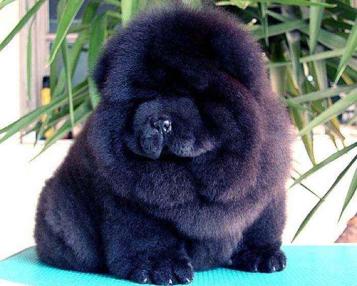 黑熊和金娜黑色松狮幼犬图片 松狮犬图片 松狮图片图片
