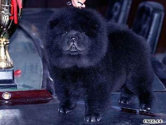CASH黑狮的母黑色松狮犬图片 松狮犬图片 松狮图片图片