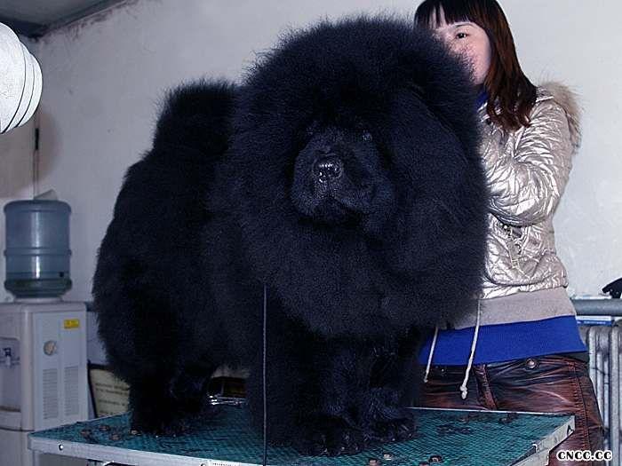 黑色松狮犬图片熊仔和茶玫瑰的黑色公犬 黑色松狮犬图片