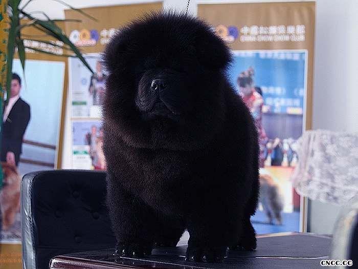 现金和皇后的纯种赛级黑色美系松狮幼犬图片图片