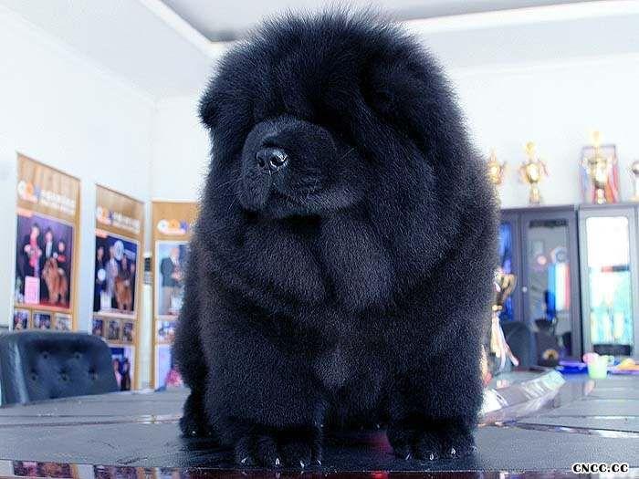 黑色松狮犬图片09年现金和皇后的赛级黑色冠军级松狮幼犬图片1