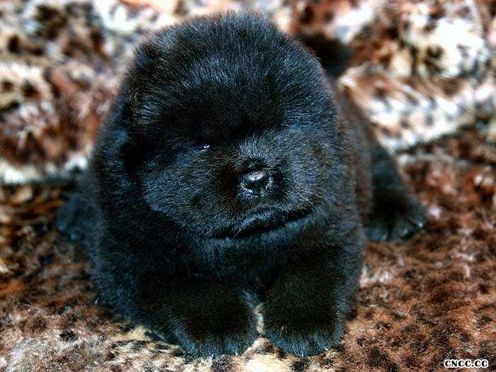 黑色松狮犬图片熊仔和蛮丫的黑色母松狮幼犬图片