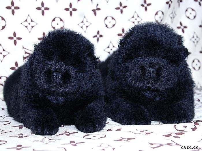 黑色松狮犬图片熊仔和六万黑色松狮幼犬满月照片黑色松狮犬图片