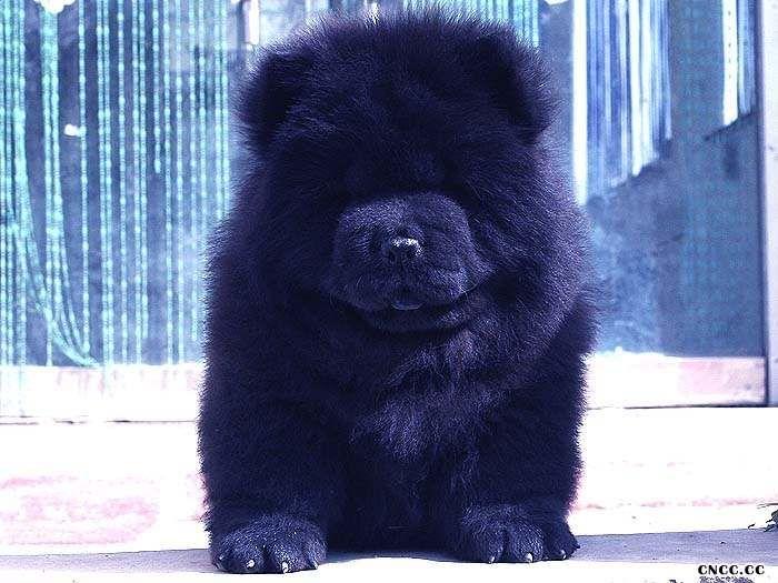 黑熊和第一吻KISS的赛级黑色松狮2挑母犬图片图片