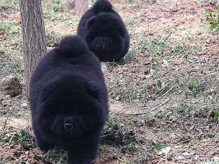 11年六万和熊仔的2两条黑色松狮幼犬母犬图片图片