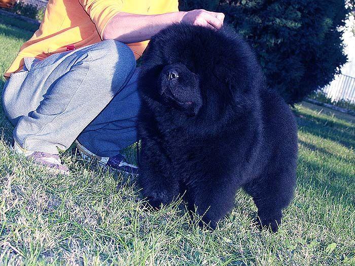 黑色松狮犬图片纯种黑色松狮犬图片 黑松狮犬幼犬公照片