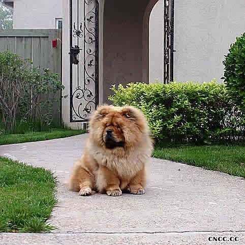 现金和JOJO松狮幼犬图片 松狮犬图片 松狮图片