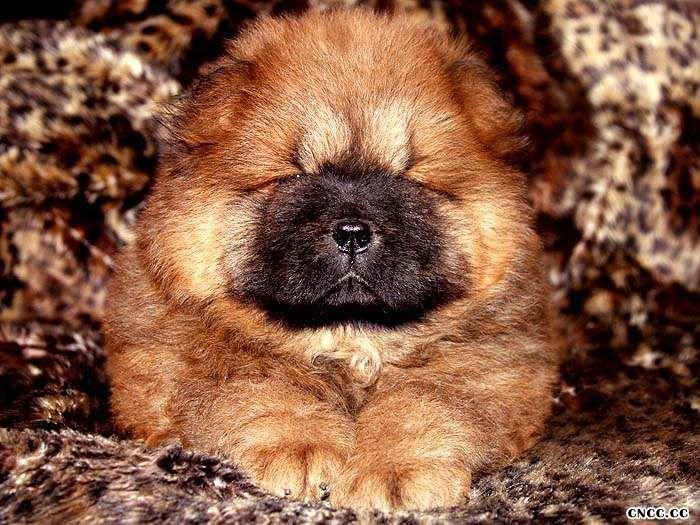 FIRST CASH小现金和钻石的母犬松狮幼犬图片