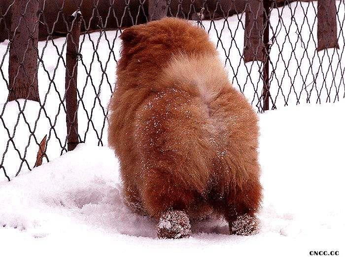 纯种松狮FIRST CASH和飞儿的公松狮幼犬松狮图片