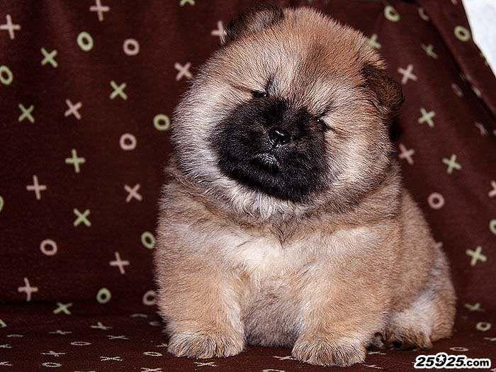 FIRST CASH的红色松狮犬母犬照片40天图片图片