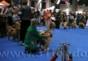 2008年美国优卡杯松狮犬比赛视频美国优卡杯松狮视频图片