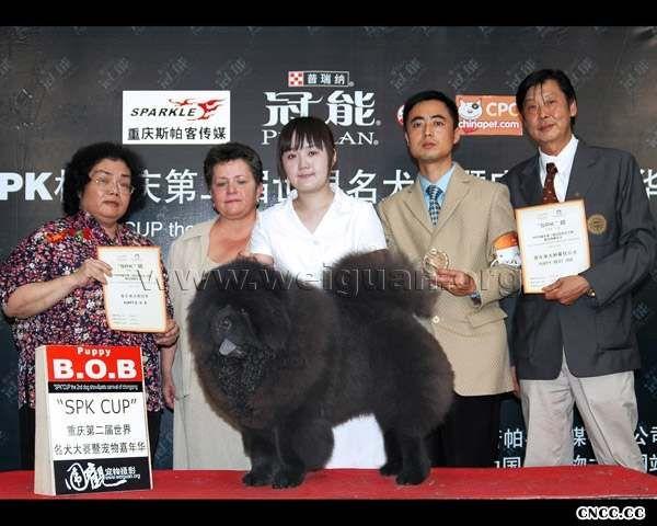 2006重庆世界名犬大赛猩猩小子获松狮幼犬冠军图片