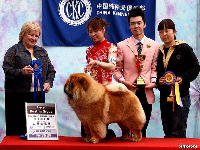 08.04.20FIRST CASH获CKC太原26届松狮冠军非运动图片
