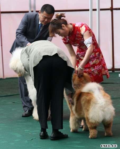 08.04.20FIRST CASH获CKC太原26届松狮冠军非运动