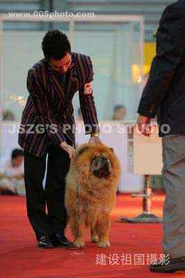 2008.9.5日小现金FIRST CASH获亚洲宠物展松狮冠军图片