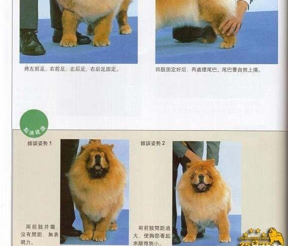 松狮犬比赛牵犬 松狮犬摆狗展示方法图例图片