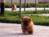 让松狮定点大便小便定点排便训练松狮幼犬早期训练图片