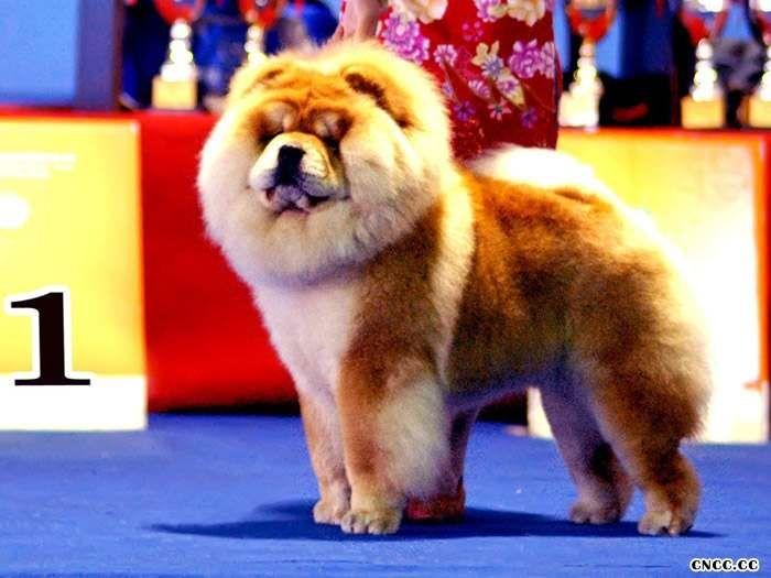 松狮犬美容松狮犬的毛发日常护理及25925松狮犬赛前美容