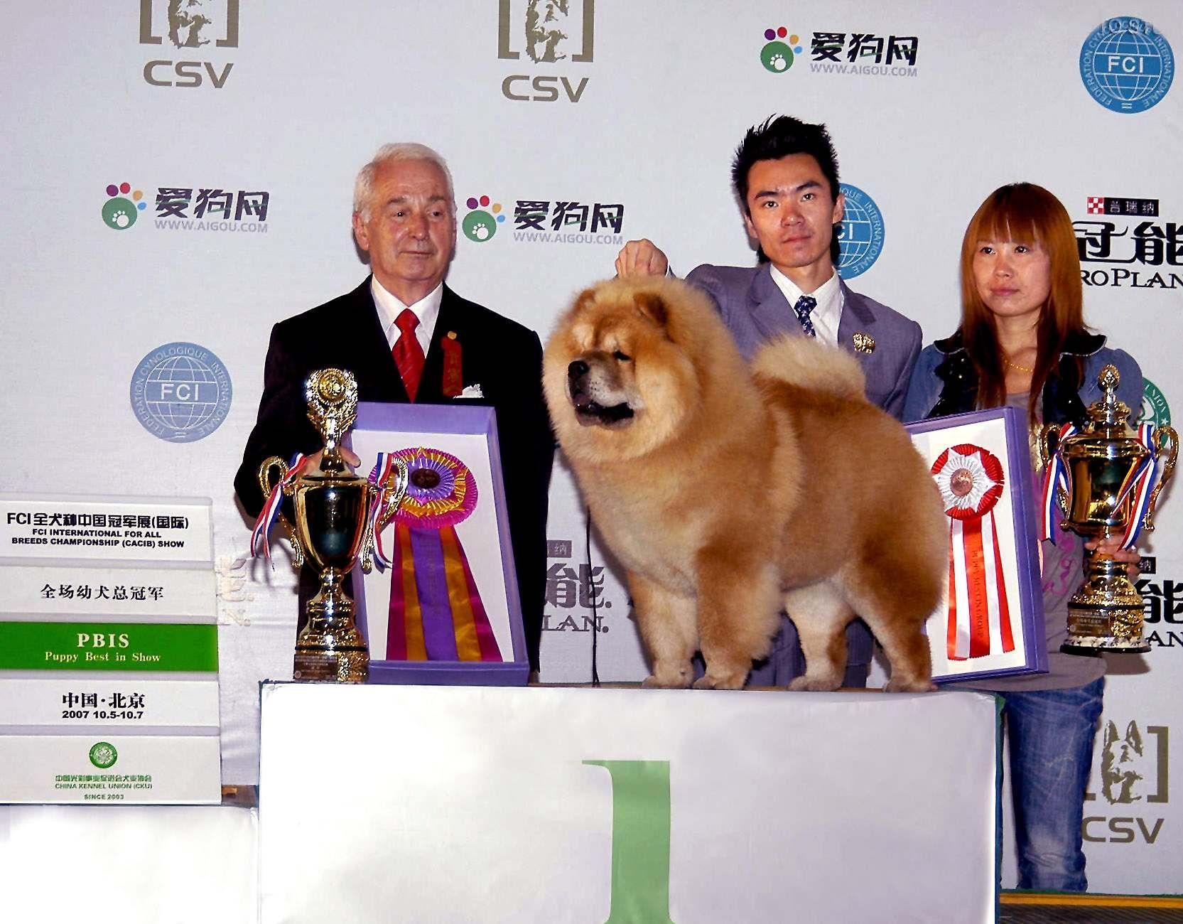 松狮犬高清图片HOPE获FCI中国冠军展(国际)全场幼犬总冠军BIS