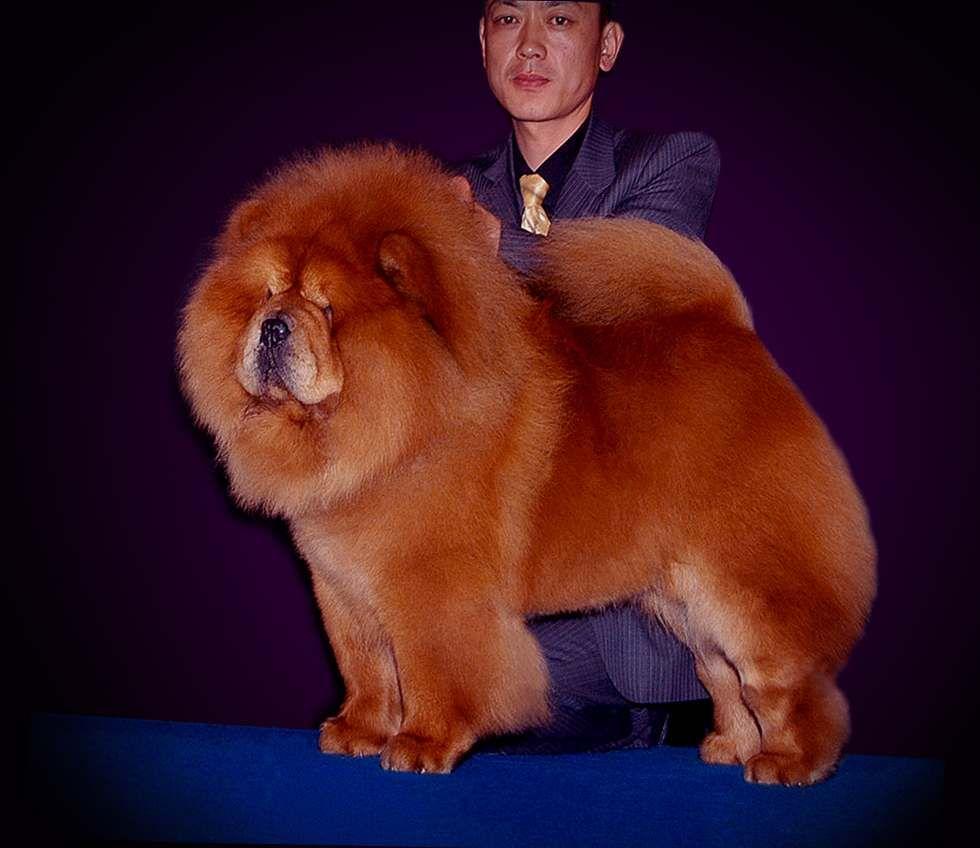 松狮犬高清图片现金CASH美国永久冠军松狮犬图片
