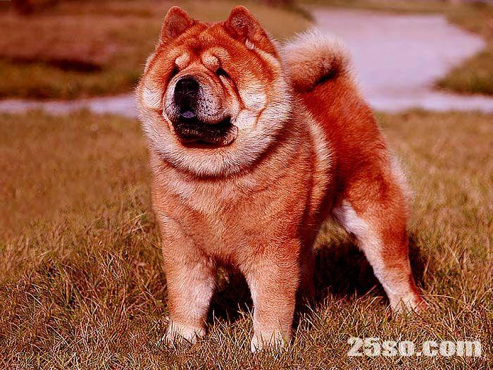 纯种短毛松狮犬亲王顶级松狮种公配种松狮犬配种价格8000元