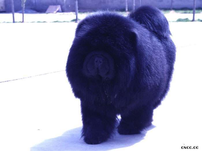 纯种黑色美系松狮犬种公熊仔配种价格松狮犬配种价格15000元