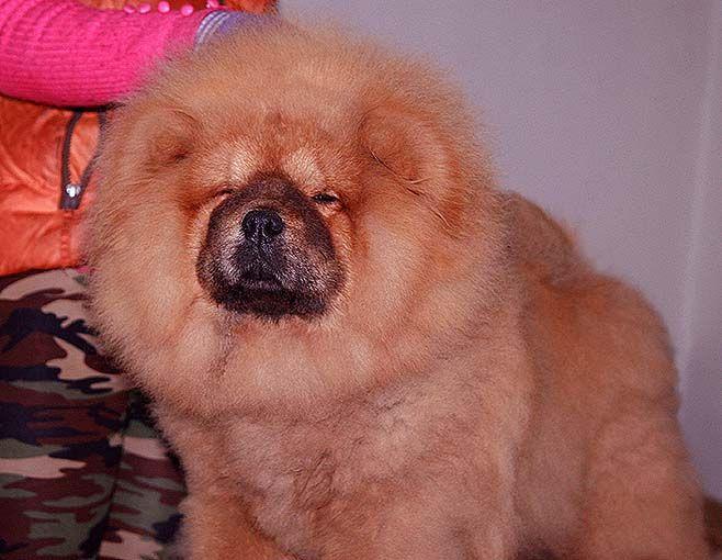 出售小现金和飞儿的红色赛级美系2公松狮出售松狮犬价格9800元