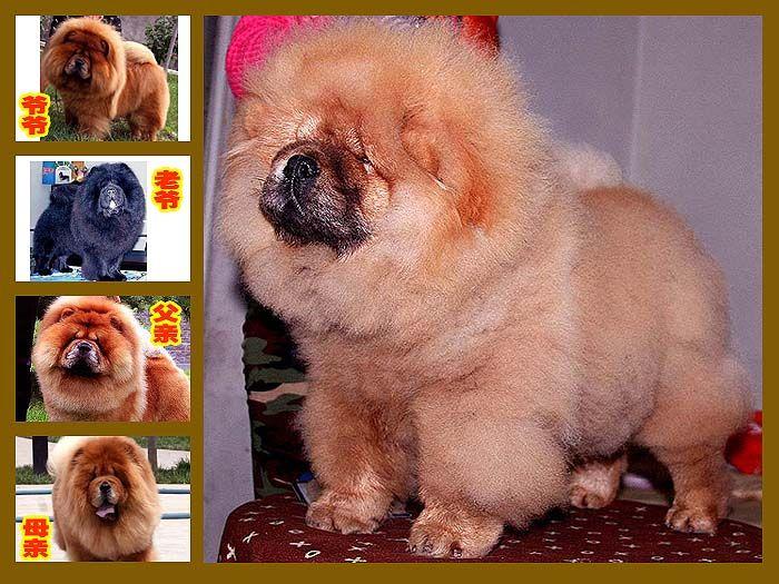 出售小现金和飞儿的红色赛级美系1公松狮出售松狮犬价格9800元