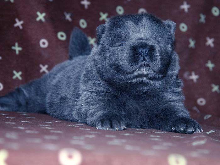 蓝色松狮犬图片近一个月顶赛纯种蓝色松狮犬图片蓝色松狮幼犬图片