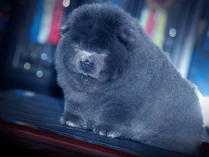 赛级出售优惠预定赛级纯种赛级蓝色松狮母犬