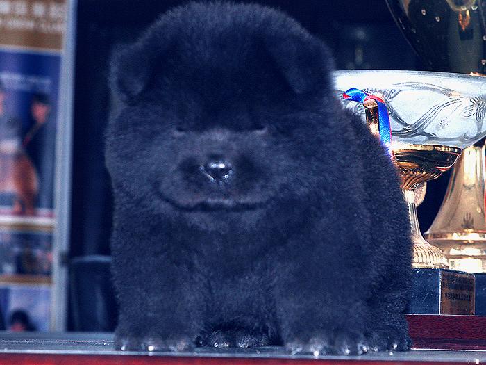 优惠出售熊仔万熊赛级纯种黑色松狮公犬出售松狮犬价格15800元