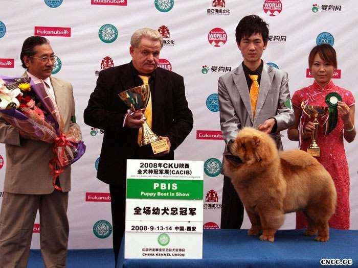 松狮犬介绍纯种松狮犬不同年龄的长相松狮幼犬成年图片对比