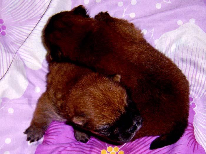 特价出售小现金和COCO赛级纯种松狮幼犬公