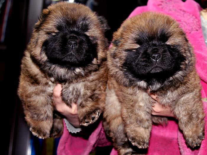 赛级出售出售机遇和小飞飞的赛级纯种松狮犬母犬