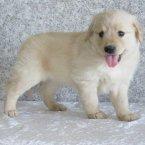 测试出售江苏纯种金毛犬幼犬3个月公犬