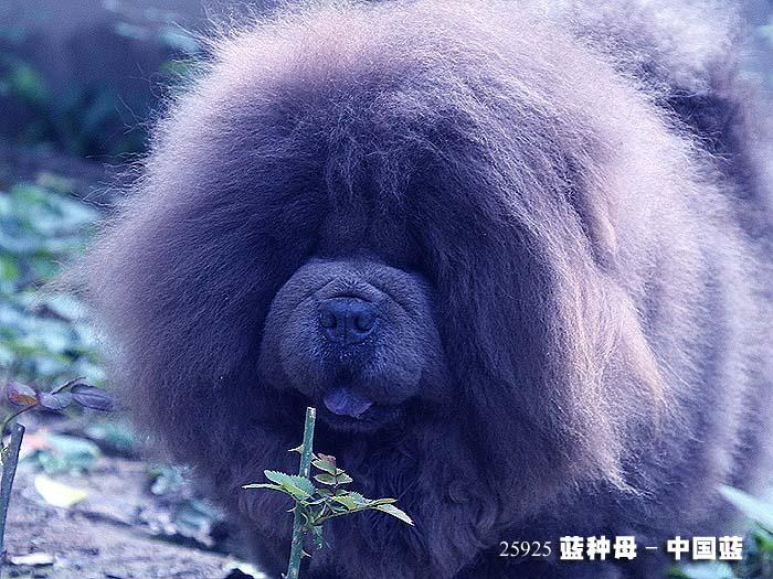 中国蓝-25925蓝色松狮犬种母图片