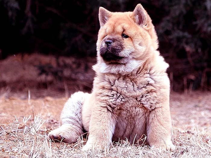 出售红色纯种赛级短毛松狮犬母犬亲王后出售松狮犬价格14800元