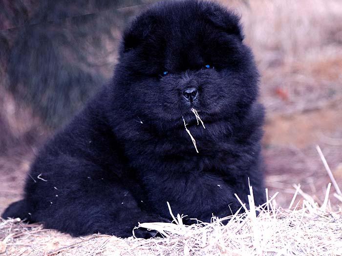 出售小现金的纯种赛级松狮犬黑色幼犬公出售松狮犬价格35000元