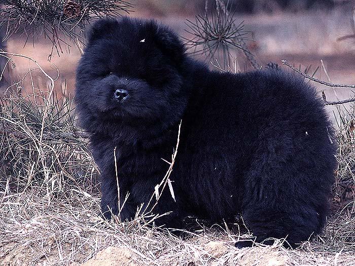 赛级纯种黑色松狮幼犬母犬图片-多宝玉照片